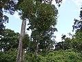 ¿ Helixanthera obtusata ? on some host tree (14393249159).jpg