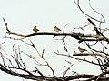 Šumske ševe (Lullula arborea) Woodlarks.jpg