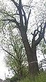 Горіх чорний у Гермаківському дендропарку.jpg