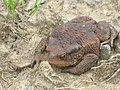 Древесная лягушка на северном Кавказе.jpg