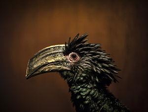 Brown-cheeked hornbill - Image: Калао трубач