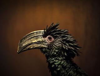 Brown-cheeked hornbill species of bird