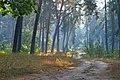 Козлинський ліс.jpg