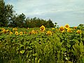 Поле соняшнику у селі Садки Житомирського району.jpg