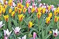 Разновидности тюльпанов.JPG