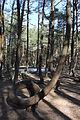 Танцующий лес 03.JPG