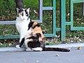 Трёхцветная кошка на юге Москвы (август 2015).JPG
