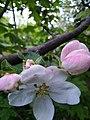 Яблоня.расцвет.jpg