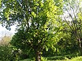 Яблунівська липа.jpg