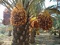 خرمای قصب Dates Qasb - panoramio.jpg