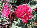 中國古老月季-月月紅 Rosa chinensis 'Month-Month Red' -深圳人民公園 Shenzhen Renmin Park, China- (27925593137).jpg