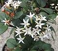 假虎刺屬 Carissa bispinosa -比利時國家植物園 Belgium National Botanic Garden- (9229778230).jpg