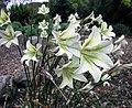 唐菖蒲屬 Gladiolus tristis -澳洲 Garden of St Erth, Australia- (11007184305).jpg