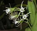喇叭唇風蘭 Oeoniella polystachys -香港沙田洋蘭展 Shatin Orchid Show, Hong Kong- (9229856886).jpg