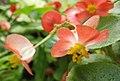 四季秋海棠-雌花 Begonia semperflorens -香港動植物公園 Hong Kong Botanical Garden- (21243204886).jpg