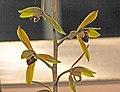 墨蘭 Cymbidium sinense Hu Beauty -台南國際蘭展 Taiwan International Orchid Show- (40150279484).jpg