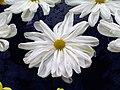日本一文字菊-山之白十字 Chrysanthemum morifolium Japanese-ribbon-series -台北士林官邸 Taipei, Taiwan- (9229877802).jpg
