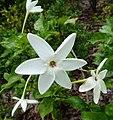 梔子屬 Gardenia nitida -新加坡植物園 Singapore Botanic Gardens- (15509795426).jpg