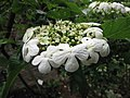 歐洲瓊花 Viburnum opulus Compactum -比利時 Leuven Botanical Garden, Belgium- (9229898528).jpg