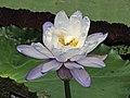 永恆睡蓮 Nymphaea immutabilis Blue Form -倫敦植物園 Kew Gardens, London- (9255189024).jpg