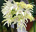 美麗石斛 Dendrobium speciosum -香港花展 Hong Kong Flower Show- (9213321305).jpg