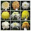 菊花 Chrysanthemum morifolium cultivars 11 -上海共青森林公園 Shanghai, China- (12026697144).jpg