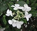 蝴蝶莢迷 Viburnum plicatum v tomentosum 'Lanarth' -比利時 Leuven Botanical Garden, Belgium- (18005971911).jpg
