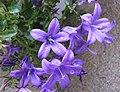 風鈴草屬 Campanula 'Birch Hybrid' -釜山金剛植物園 Geumgang Botanical Garden, Busan, Korea- (13077986655).jpg