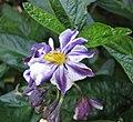 香瓜茄 Solanum muricatum -澳洲 Heronswood Gardens, Australia- (10801368315).jpg