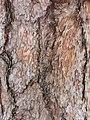 黑松 Pinus thunbergii 20211007185113 07.jpg