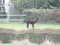 -2018-09-12 Black Alpaca (Vicugna pacos), Knapton, Norfolk.JPG