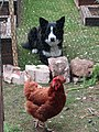 -2019-05-17 Sheep dog and chicken, Trimingham.JPG