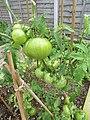 -2019-09-14 Ripening outdoors of fruit on variety 'Sub Arctic Plenty' Tomato Plants, Trimingham.JPG