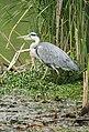 -2020-06-10 Grey Heron (Ardea cinerea), Paston, Norfolk (4).JPG
