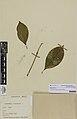 . Psychotria macrocalyx A.Gray (AM AK89417-2).jpg