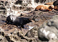 043004 male california sea lion female steller sea lion rogue reef odfw (15139525682).jpg