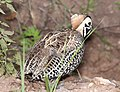 072 - MONTEZUMA QUAIL (8-22-2015) harshaw rd, santa cruz co, az -14 (20798543195).jpg