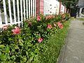 0985jfHibiscus rosa sinensis Linn White Pinkfvf 07.jpg