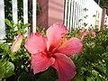0985jfHibiscus rosa sinensis Linn White Pinkfvf 14.jpg