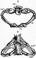 1911 Britannica - Batrachia - Necturus.png