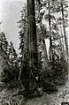 1933. Nineteen-foot insect tree cage for induced attack and emergence collection. Dendroctonus brevicomis. Modoc National Forest, California. (26445176519).jpg