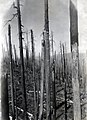 1945. General view of fire-killed trees in the Tillamook Burn, Oregon. (34974984676).jpg