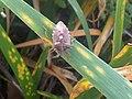 1 - Pentatoma rufipes 2 - Putney Heath Common 2011.08.02.jpg