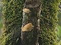 2010-09-07 Auricularia delicata group 103059.jpg