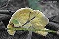 2010-10-11 Gyrodontium sacchari (Spreng.) Hjortstam 111474.jpg