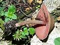 2011-06-28 Melanophyllum haematospermum (Bull.) Kreisel 200706.jpg