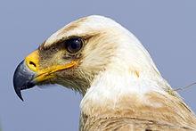 Tawny Eagle Wikipedia