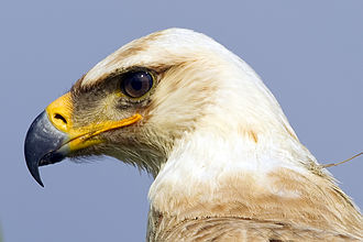 Tawny eagle - Close-up showing gape extending only to below the middle of the eye