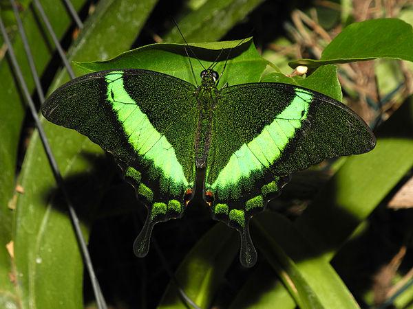 2013-04-30 15-45-03-Papilio-palinurus.jpg