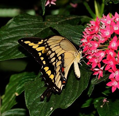 2014-05-01 15-14-37-Papilio-cresphontes-hunawihr.jpg